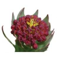 rhodiola fleur